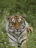 A Close View of a Siberian Tiger