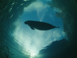 A Florida Manatee is Silhouetted against the Sky Papier Photo par Brian J. Skerry