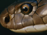 Extreme Close-up of the Head of a King Cobra