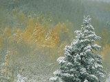 Aspen Trees Get a Dusting of Snow from an Autumn Storm