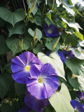 A Close View of a Heavenly Blue Morning Glory Flower and Vine
