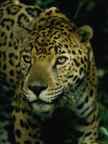 A Jaguar on the Prowl