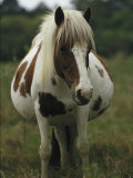 Portrait of a Pregnant Assateague Wild Pony Mare