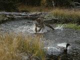 Mountain Lion Hunts a Mallard Duck in a Creek