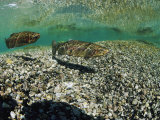Two Rainbow Trout Swim in a Shallow Stream Above Sunlit Gravel