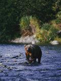A Kodiak Brown Bear Hunts for Fish