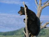 A Young American Black Bear Perches in the Fork of a Tree