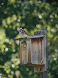 Common Kestrels Nest in a Bird House