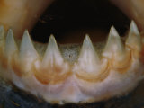 Close View of the Teeth of a Piranha