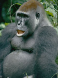 A Close View of a Lowland Gorilla