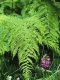Wildflowers and Ferns in Forest  Bayerischer Wald National Park