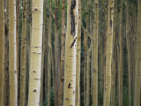 Close View of Tree Trunks in a Stand of Birch Trees