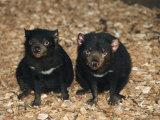 Tasmanian Devils  Tasmania  Australia