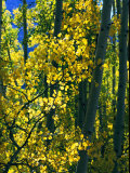 Sunlight Filters Through the Autumn Leaves of Aspen Trees