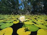 Water Lilies  Jardine River  Cape York Peninsula  Australia