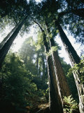View Looking up the Trunks of Giant Redwood Trees