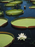 Large Lily Pads and Flowers Float in Calm Water