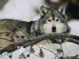 Portrait of a Captive Gray Wolf Papier Photo par Roy Toft