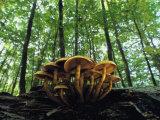 Mushrooms Growing on a Dead Beech Tree