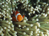 Clown Anemonefish in Sea Anemone  Pacific Ocean