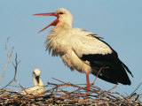 Stork Vocalizing in Nest with Young