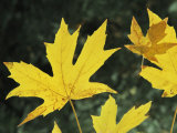 Close View of Big Leaf Maple Leaves in Autumn Color