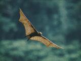 A Golden-Crowned Flying Fox in Flight