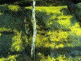Sulfur Lichens and Birch Tree in Spring in the Elbsandstein Region