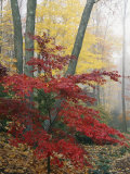Japanese Maple Leaves in the Fall
