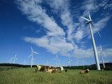 Cattle Graze Around Windmills