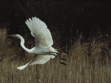 A Greater Egret Takes Flight