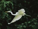 A Great Egret  Casmerodius Albus  Flies Gracefully