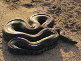 An Anaconda on Sand in Venezuela