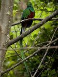 Male Resplendent Quetzal (Pharomachrus Mocinno) on a Tree Branch