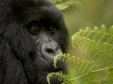 Endangered Mountain Gorilla (Gorilla Gorilla Beringei)  Close-up Face
