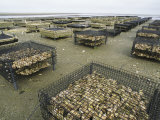 Oyster Beds Exposed at Low Tide Papier Photo par Darlyne A. Murawski