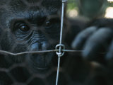 Orphaned Gorilla at Gorilla Protection Project to be Released in Wild