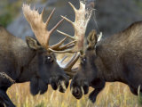 Close-up of Two Moose Locking Horns and Fighting (Alces Alces)