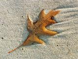 An Oak Leaf Lying in Wet Sand