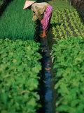 Woman Tending Market Garden  Nha Trang  Khanh Hoa  Vietnam