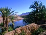 Date Palms in the Draa Valley  Draa Valley  Ouarzazate  Morocco