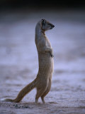 Yellow Mongoose  or Meerkat Standing on Its Hind Legs  Kgalagadi Transfrontier Park  South Africa