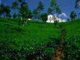 Green Tea Plantation  Nuwara Eliya  Sri Lanka