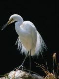 Great Egret in Breeding Plumage  Adelaide  Australia