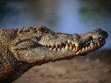 Nile Crocodile (Crocodylus Niloticus) in Profile, Paga, Ghana Papier Photo par Ariadne Van Zandbergen