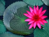 Water Lilies in Bloom  Kandy  Sri Lanka