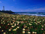 Pigeon Point Lighthouse of San Mateo County  with Wildflowers in Foreground  Sacramento  USA