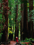 Forest of Redwood Trees  Muir Woods National Monument  California  USA