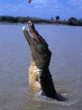 Crocodile (Crocodylidae Crocodilia) Jumping for Food on Adelaide River  Australia