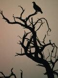 Silhouette of Eagle in Tree  Savuti  Botswana